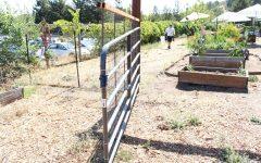 Art teacher Justin Seligman works on a new goat pen in the Campolindo garden.